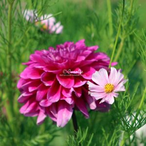 Cosmos Blooming With A Dahlia Flower 055 Print Download