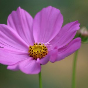 Cosmos Bloom and Bud 160