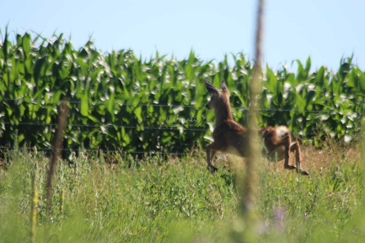 Curious Mule Deer Fawn