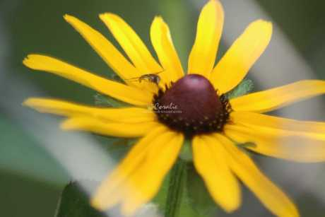 young hoverfly on black eyed susan flower bloom 653