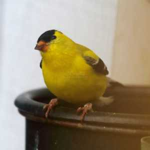 american goldfinch male T38A2153