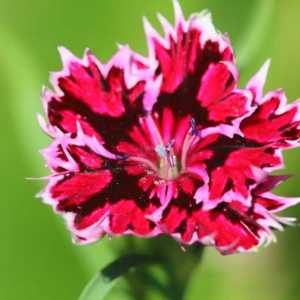 dianthus flower T38A1295