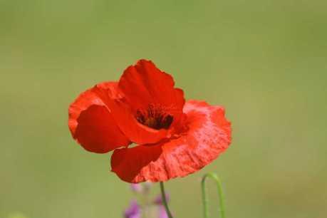 poppy flower T38A2379