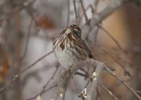 song sparrow bird T38A5406