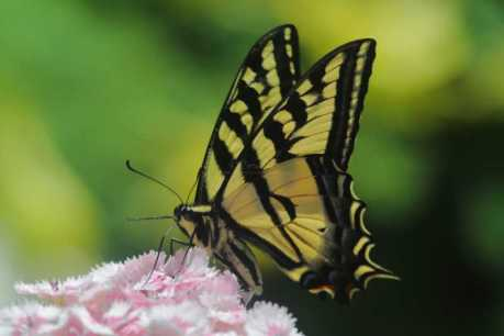 swallowtail butterfly T38A2324