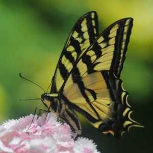 swallowtail butterfly T38A2324