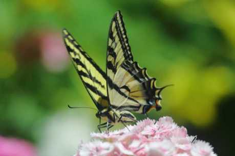 swallowtail butterfly T38A2333