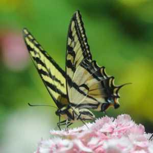 swallowtail butterfly T38A2333