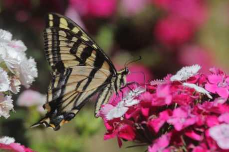 swallowtail butterfly T38A2402