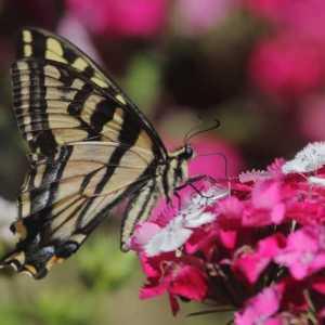 swallowtail butterfly T38A2402