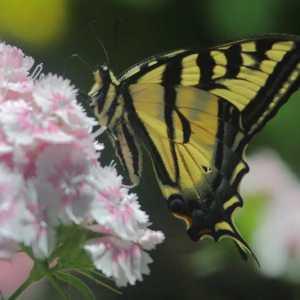 swallowtail butterfly sweet williams flowers T38A2315