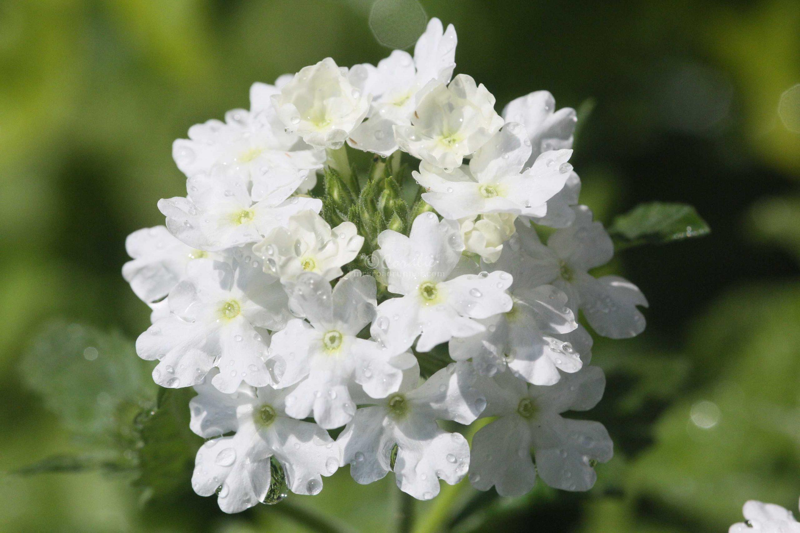 water-drop-verbena-flower-T38A1225