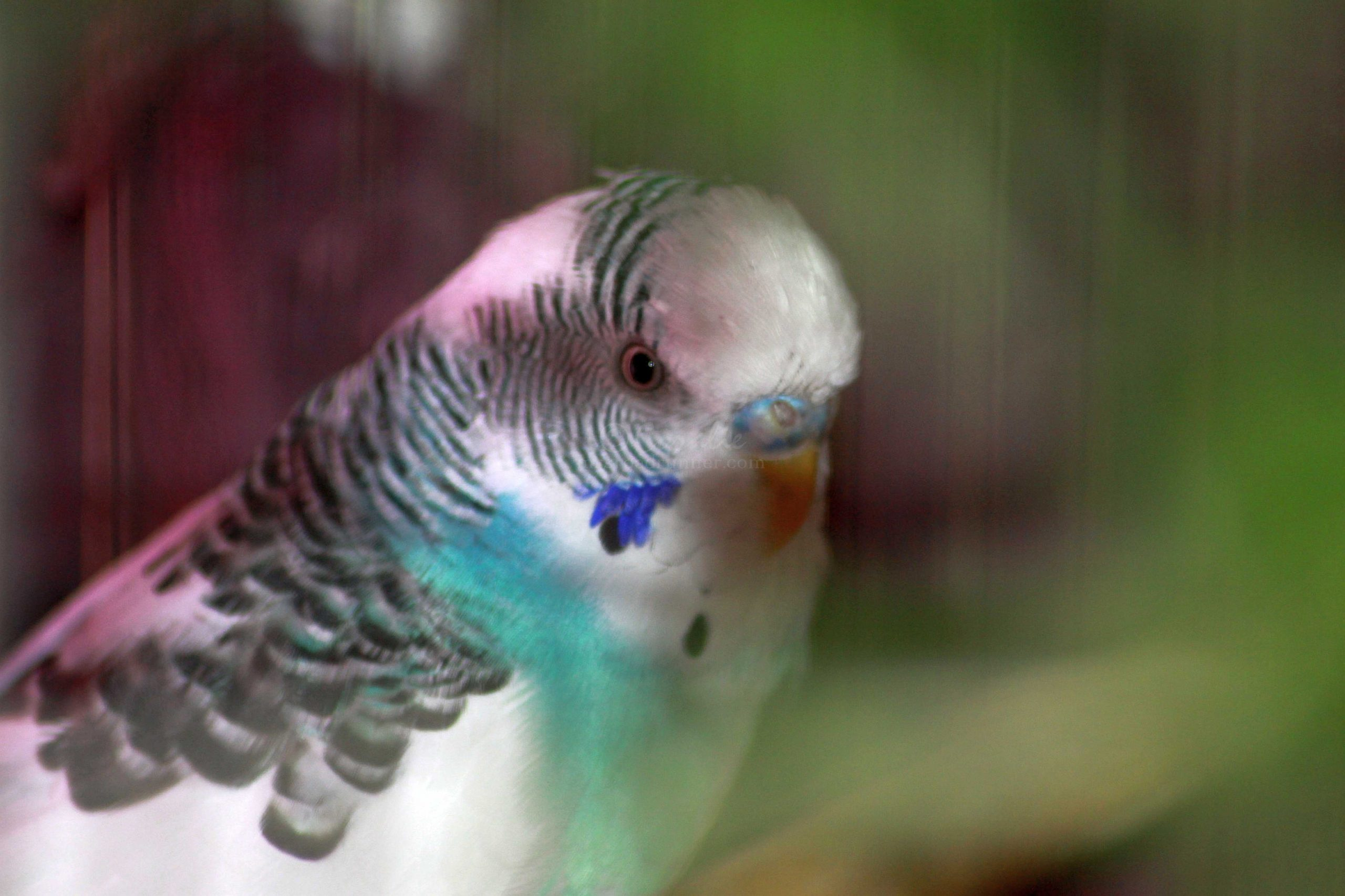 Parakeet 076