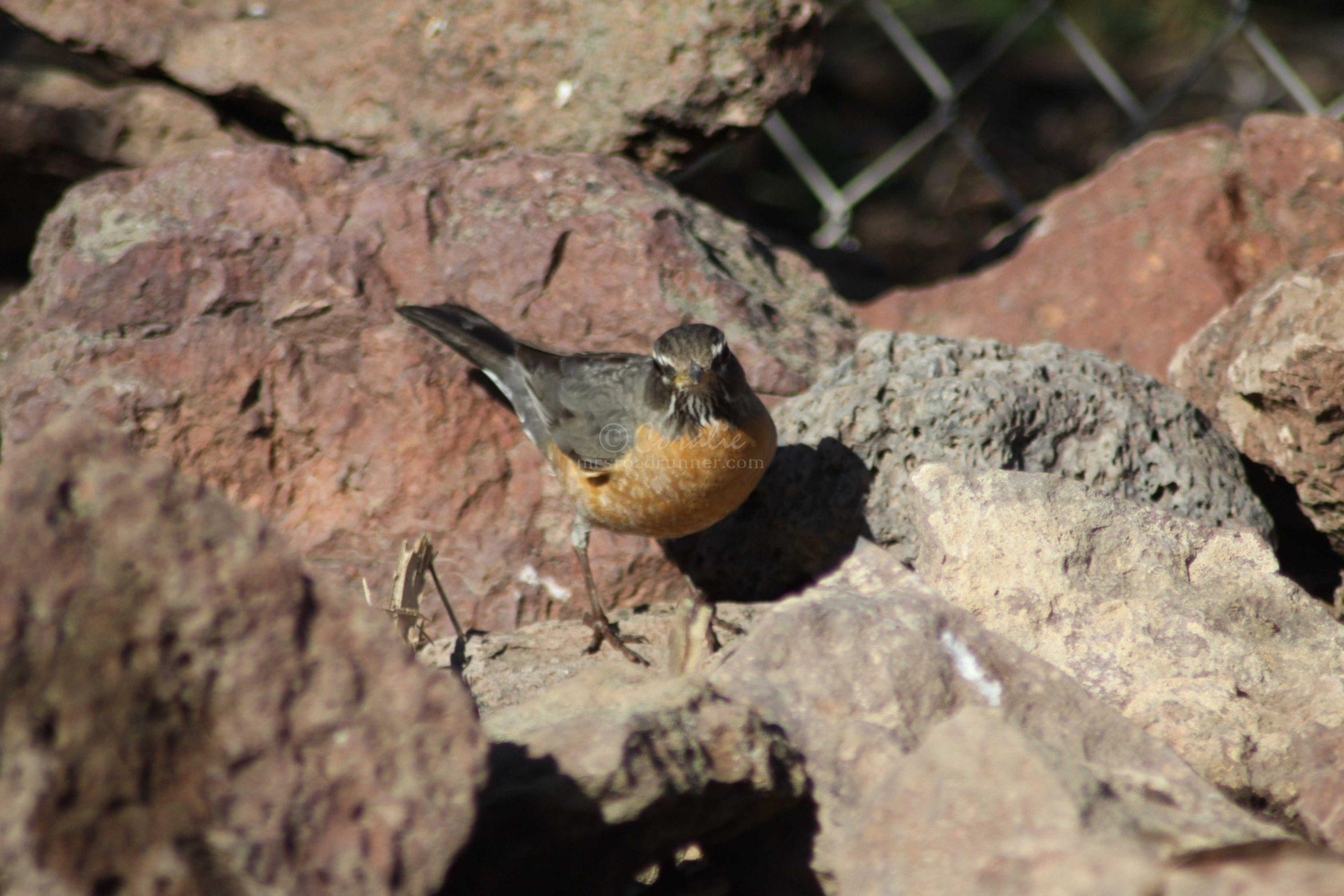 american robin bird 029