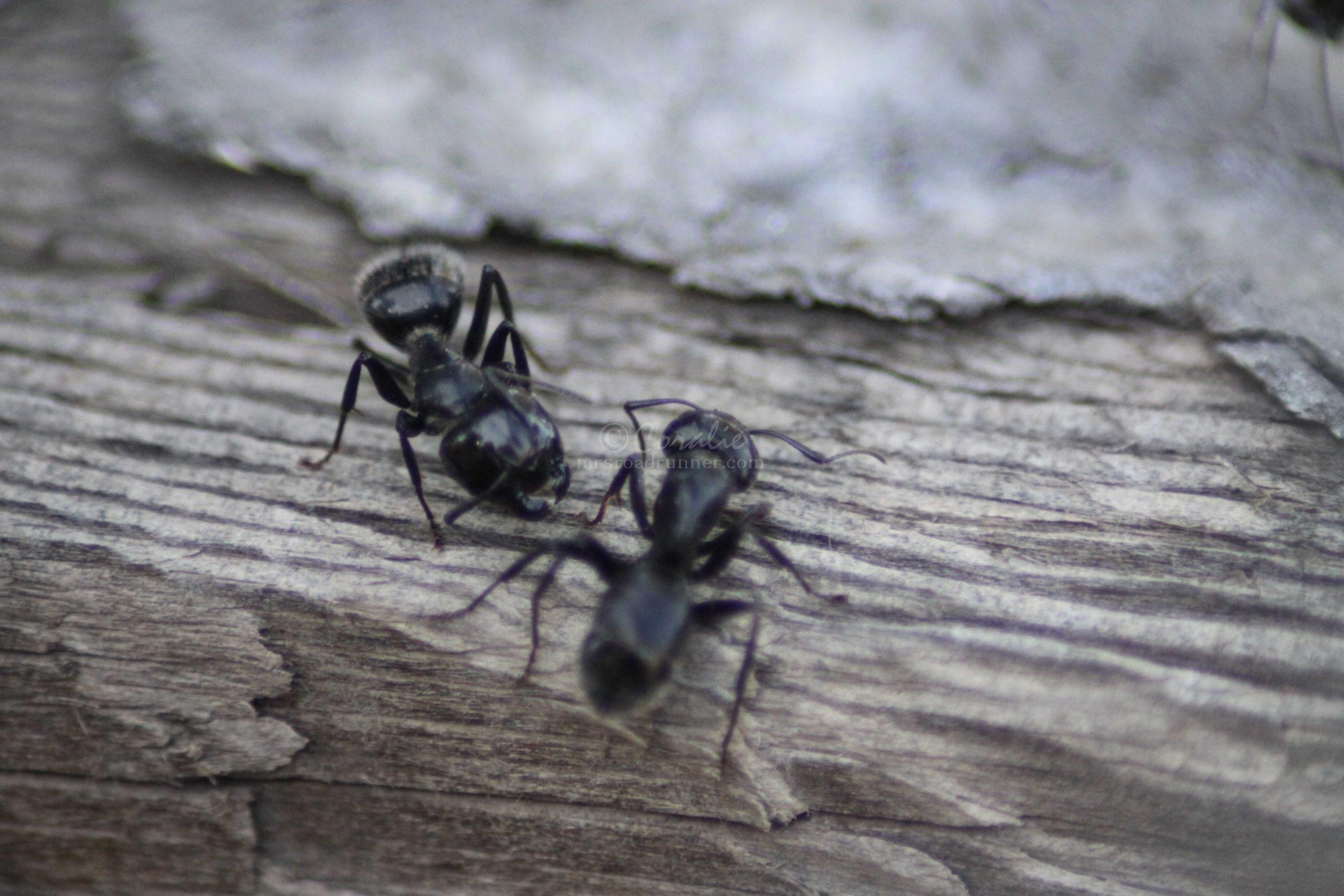 carpenter ants 136