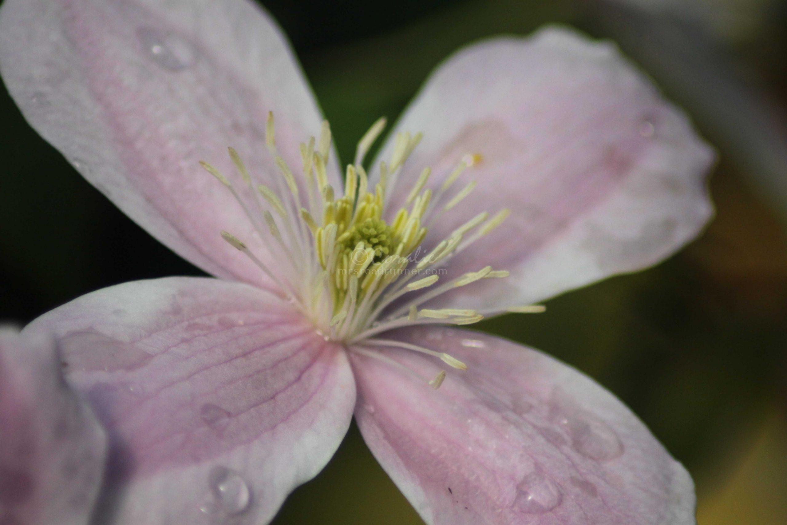 clematis flower 191