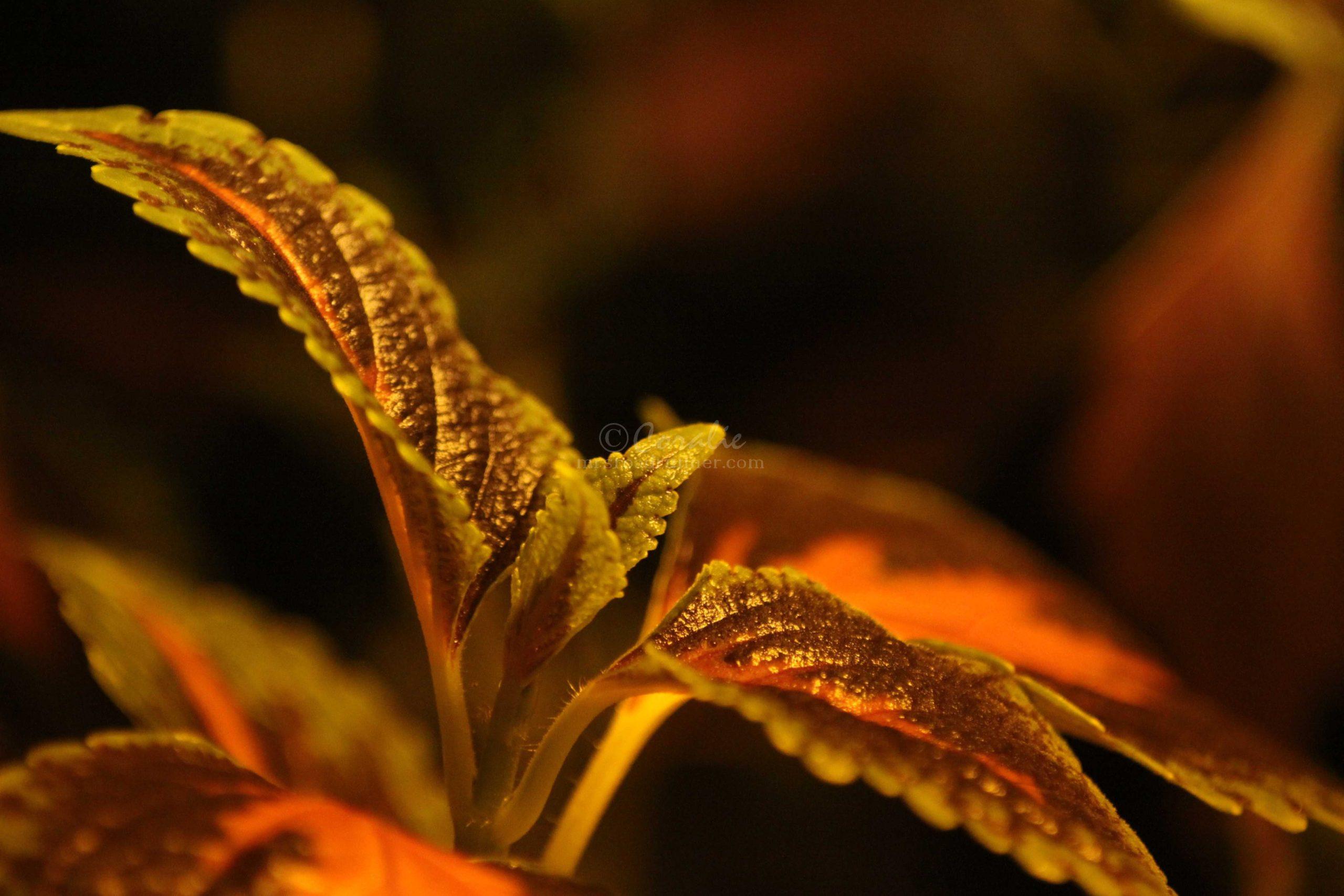 coleus plant 016