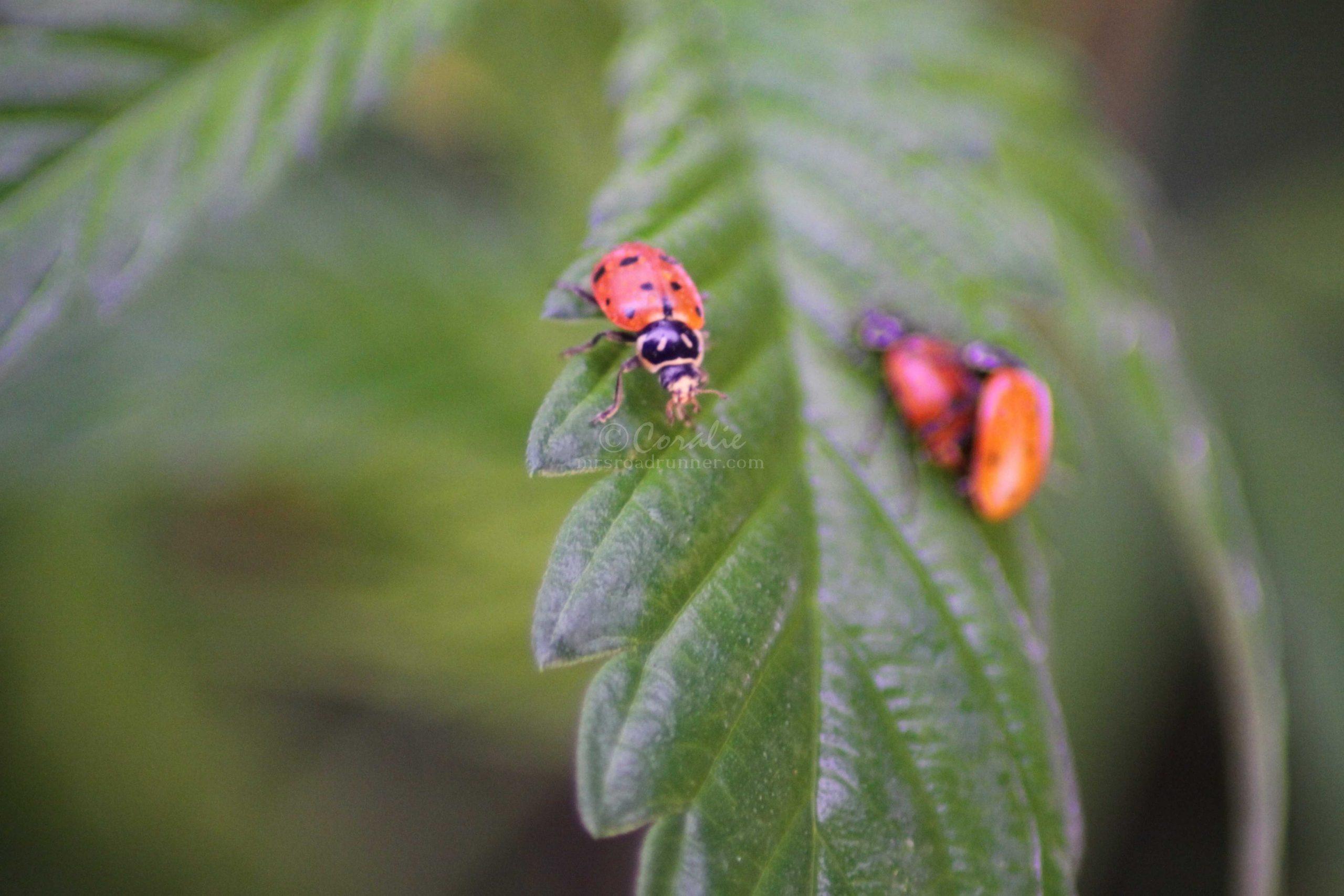 ladybugs or lady birds 182