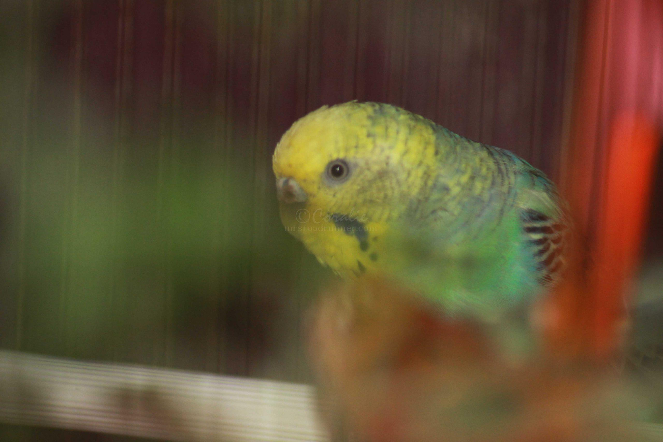 parakeet bird 073