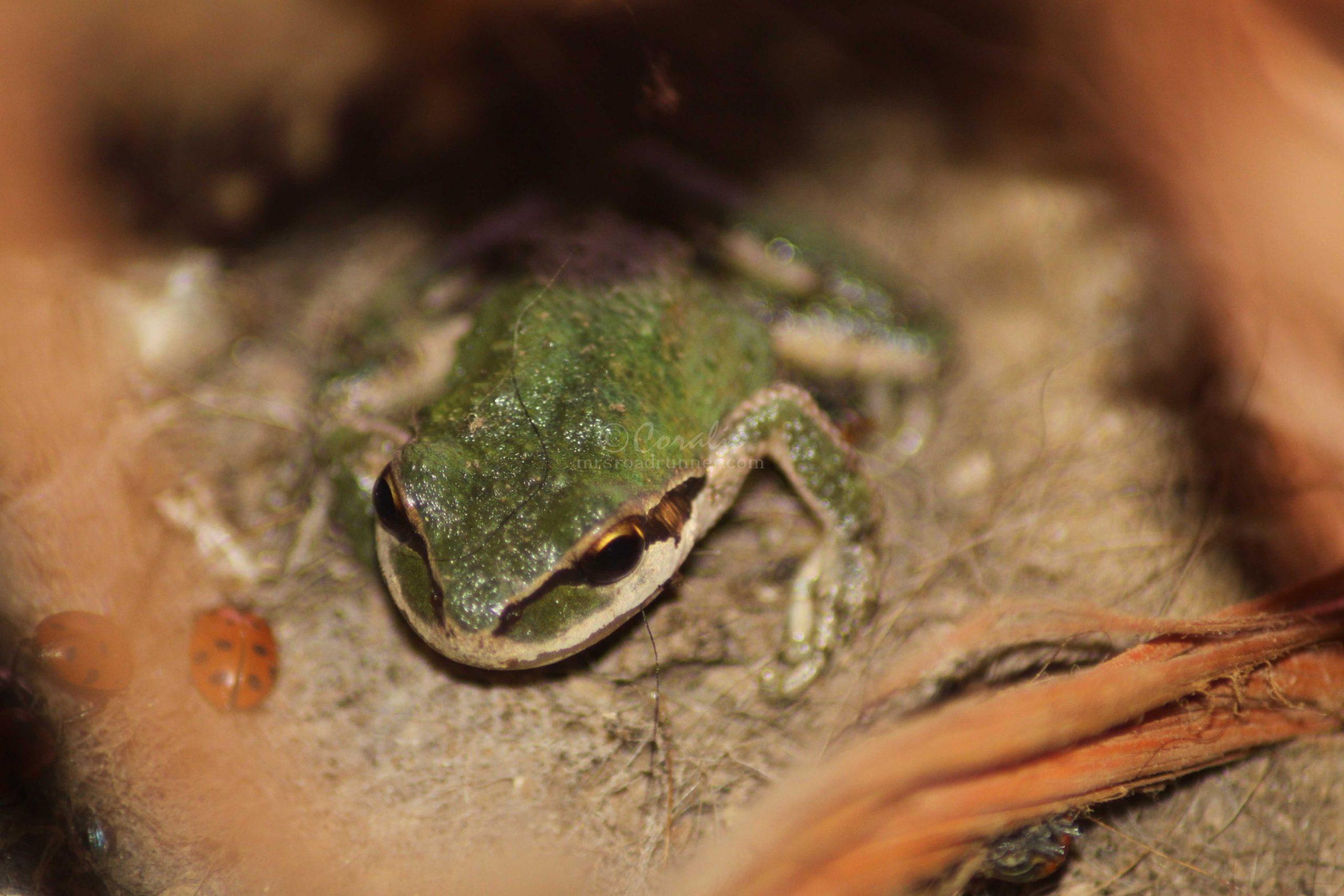 tree frog 091
