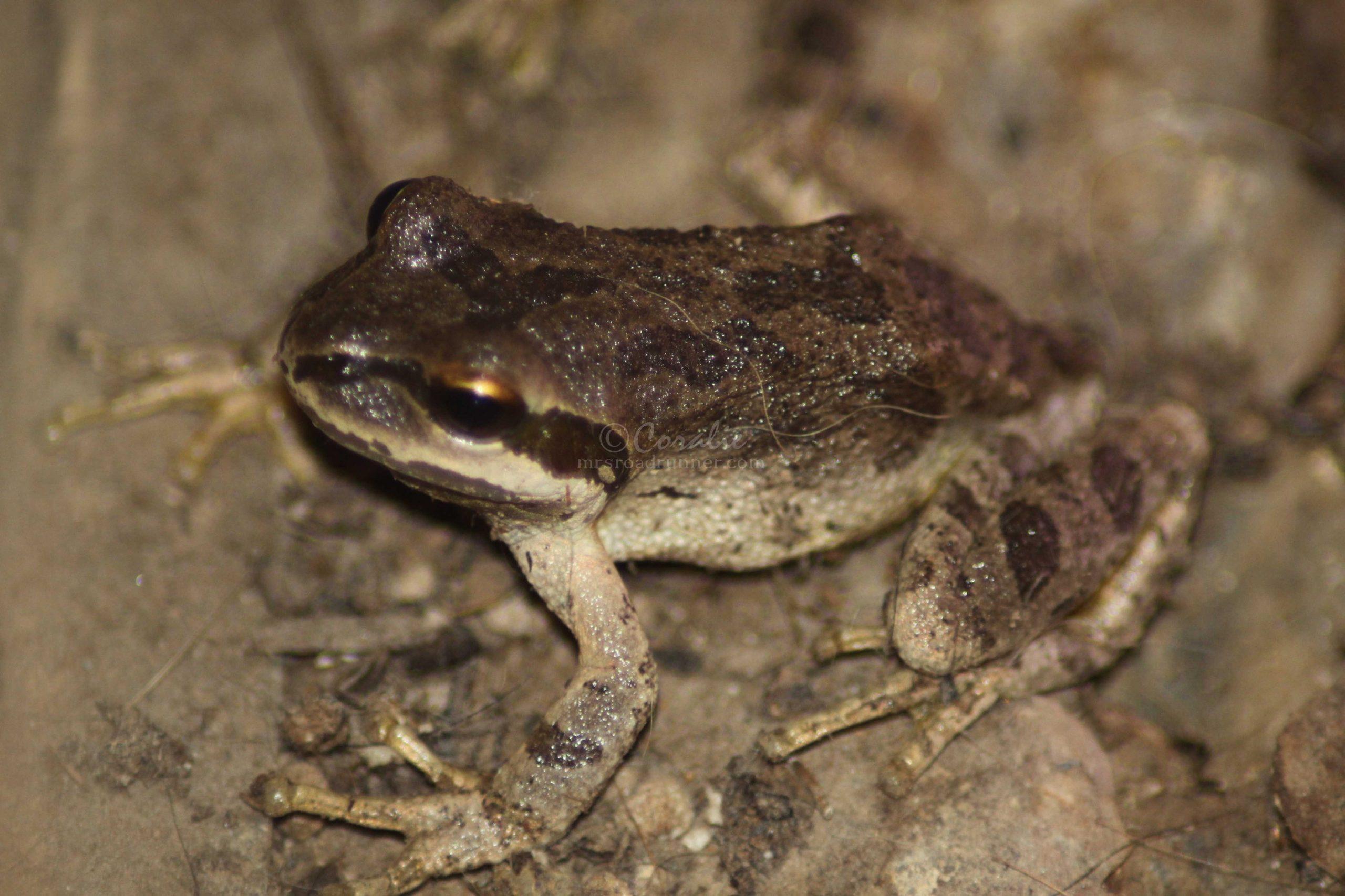 tree frog 103