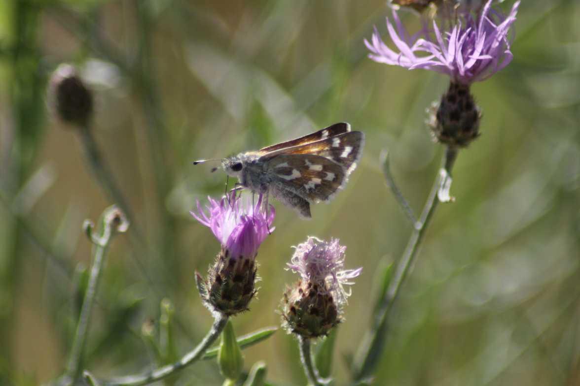 Common Checkered-Skipper Pyrgus communis butterfly 1545