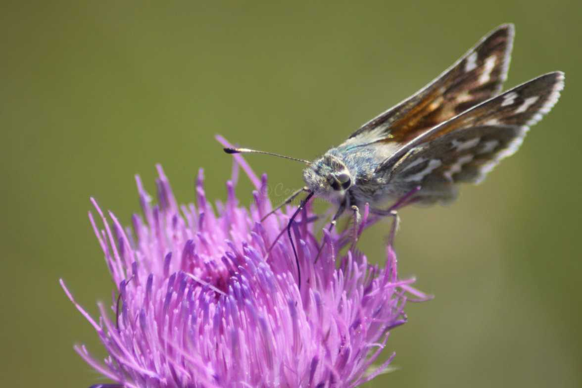 Common Checkered-Skipper Pyrgus communis butterfly 1589