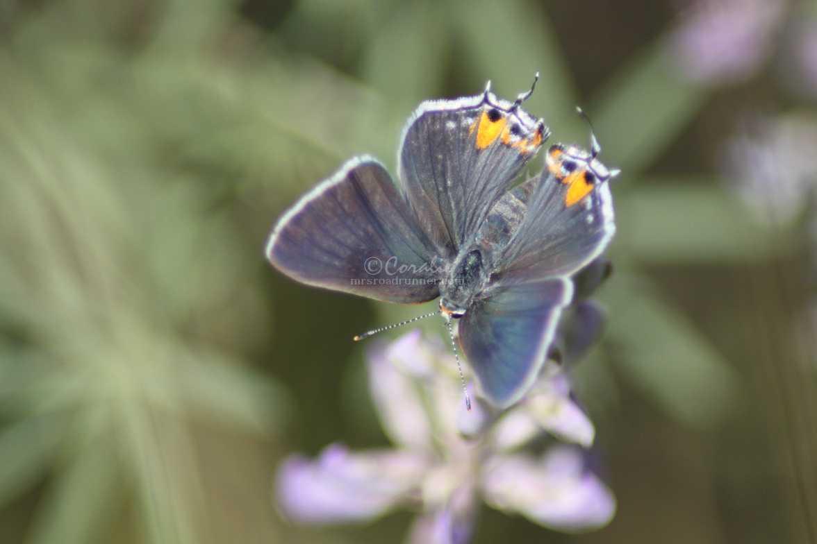 Gray Hairstreak Butterfly 2390