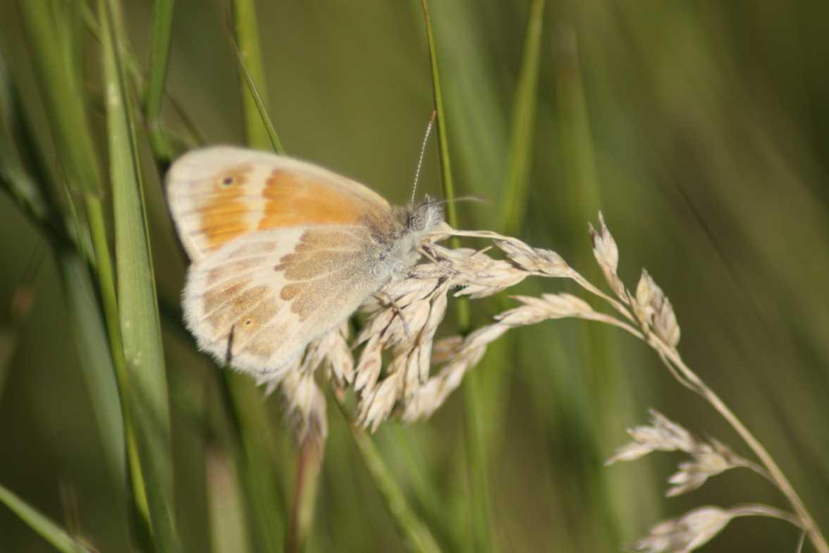 Ochre Ringlet butterfly 1118