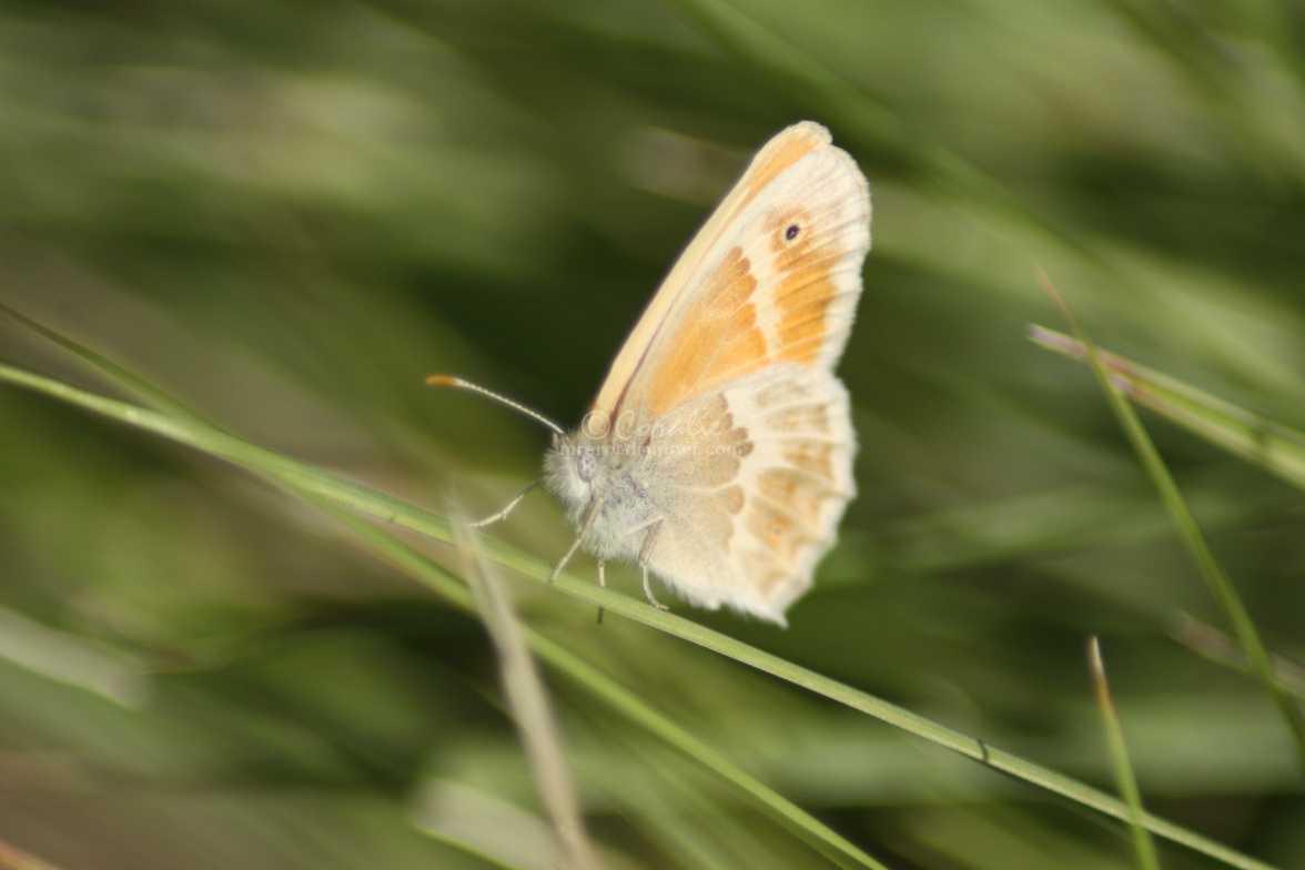 Ochre Ringlet butterfly 1152