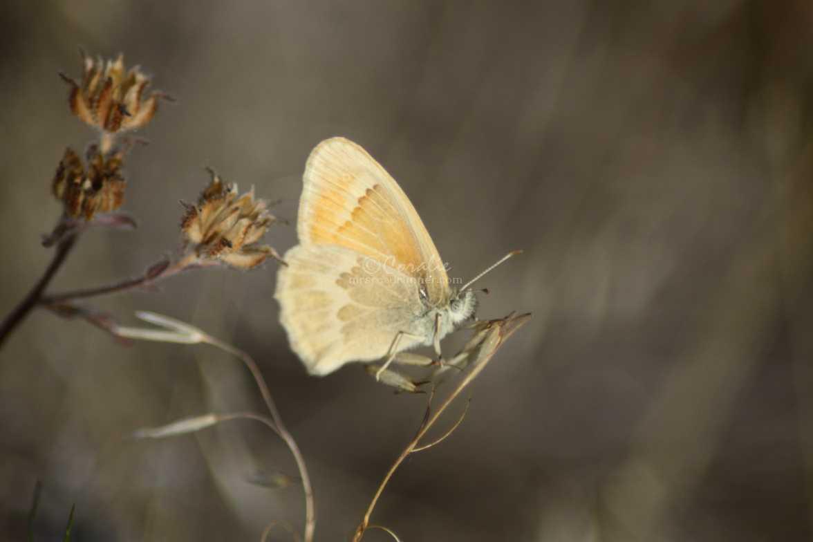 Ochre Ringlet butterfly 379