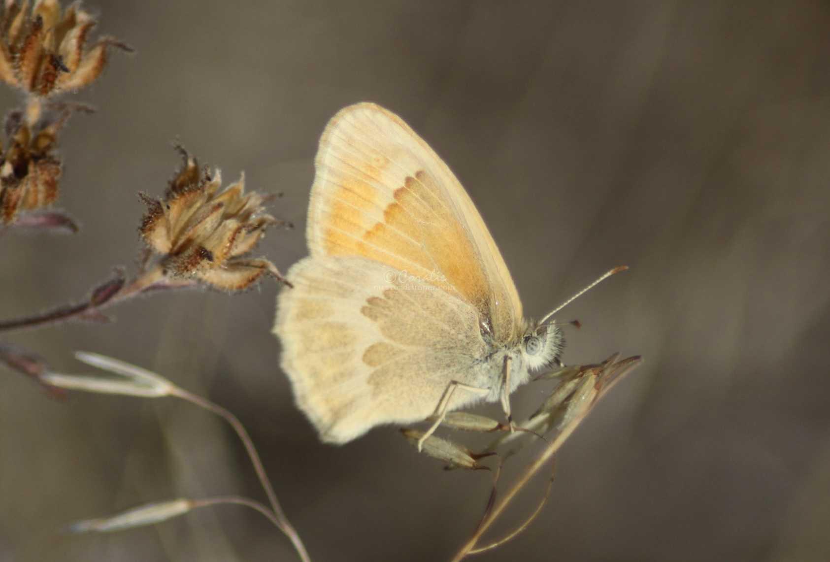 Ochre Ringlet butterfly 382