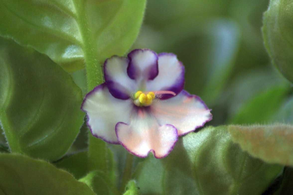 african violet flower 001
