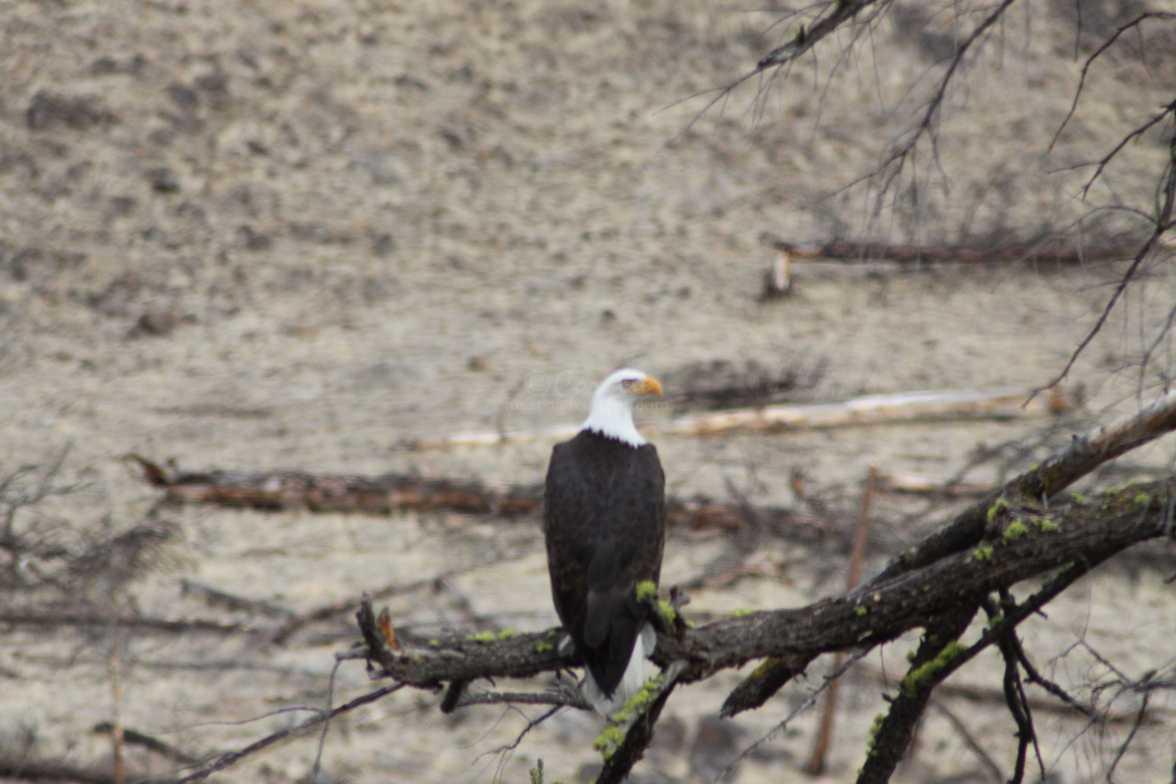 Bald Eagle 044
