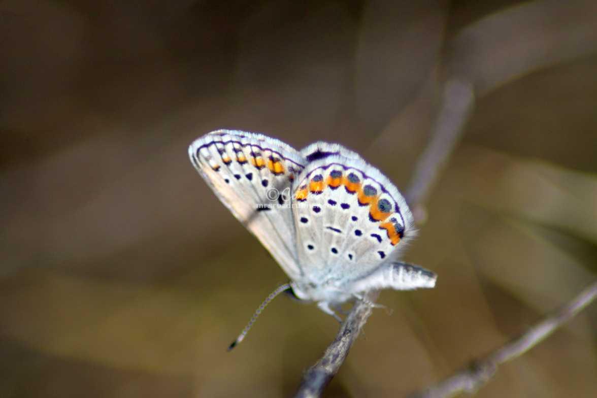 butterfly wings 503