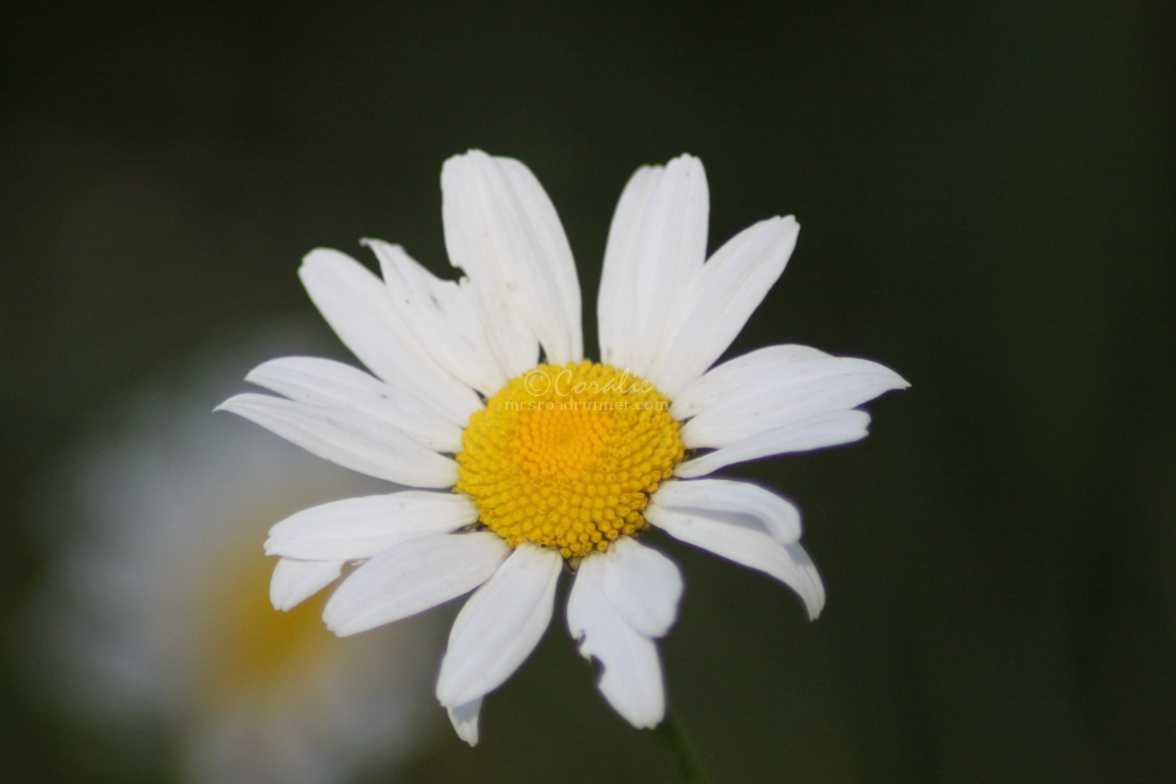 cascade daisy flower 968