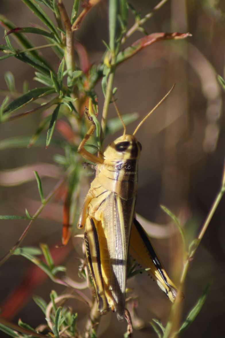 grasshopper 230