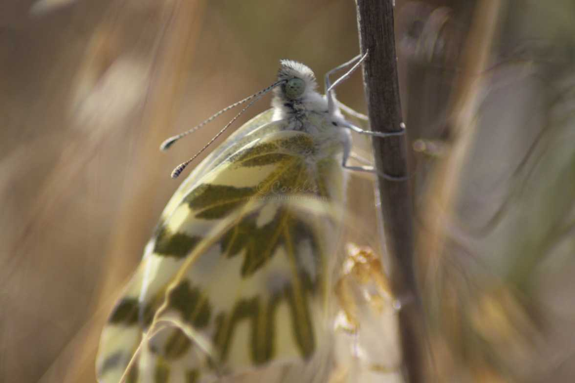 green-veined white Pieris napi butterfly cocoon 696