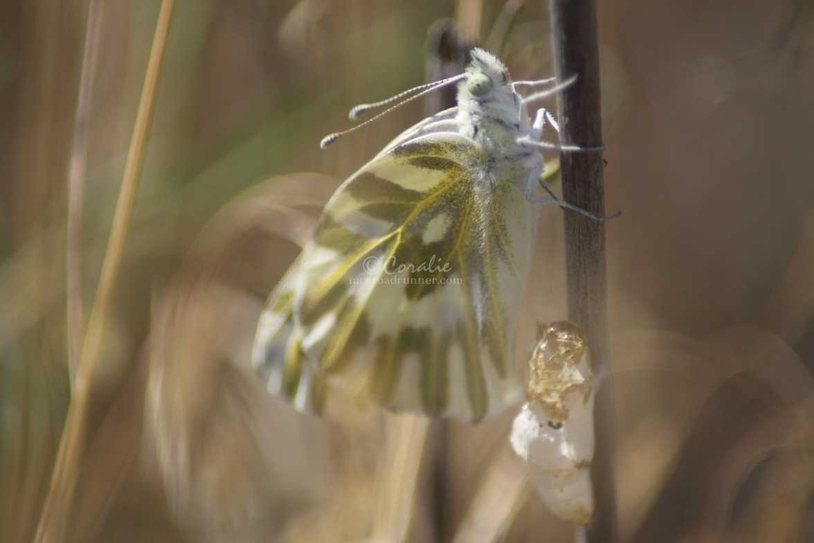 green-veined white Pieris napi butterfly cocoon 857
