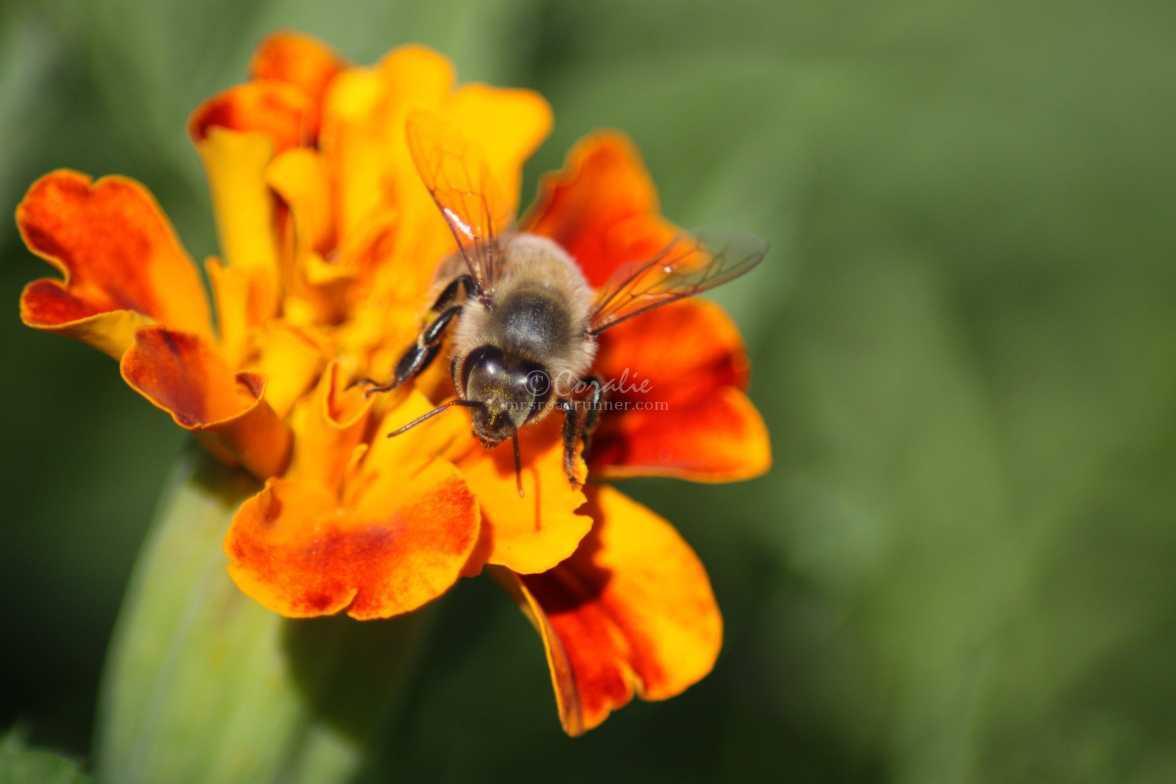 honeybee on the marigold flower 2898