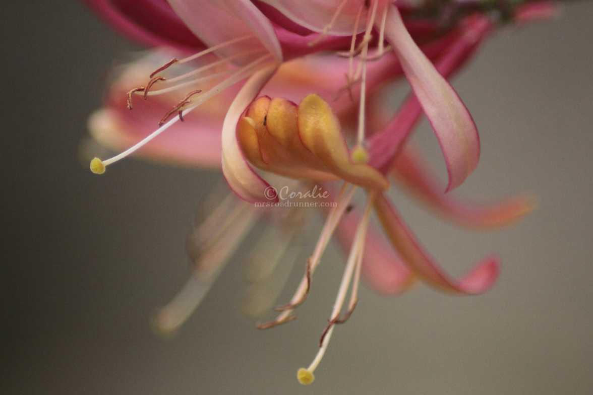 honeysuckle flower 1782