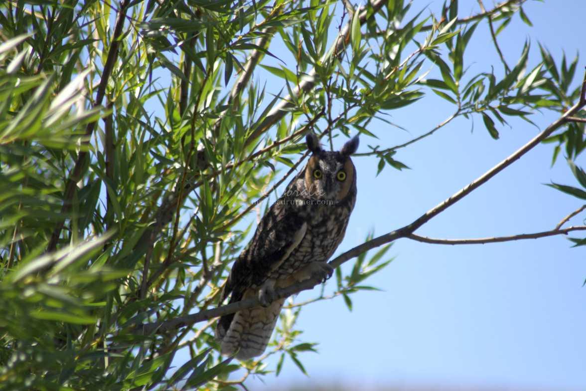 long eared owl 1132