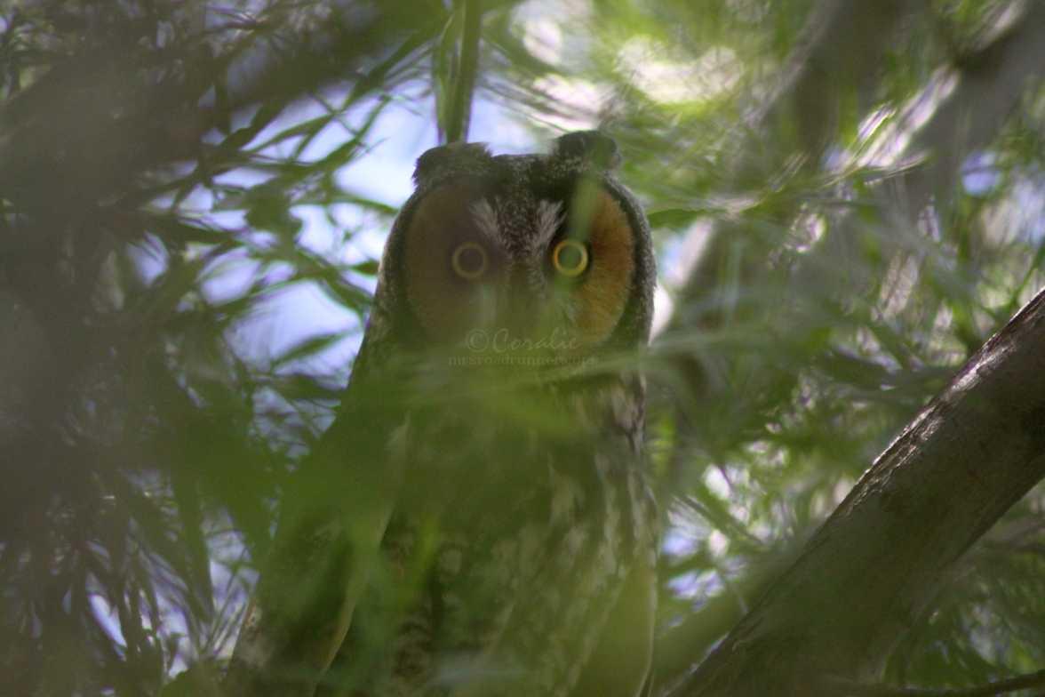 long eared owl 1245