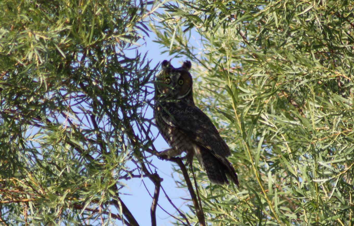 long eared owl 148