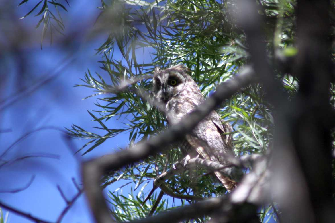 long eared owl 657