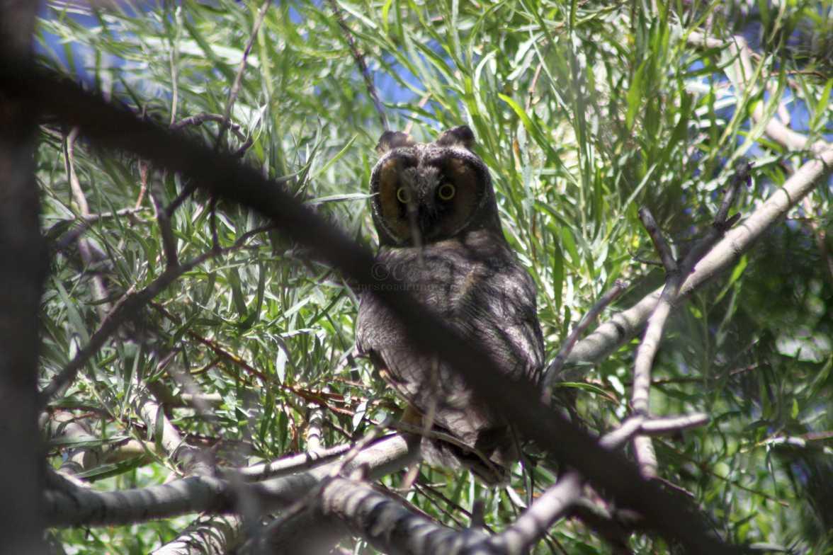 long eared owl oregon 637