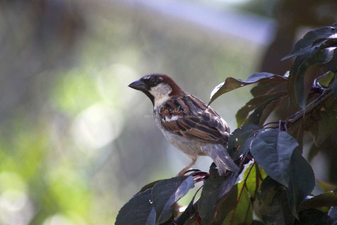 male house sparrow 057