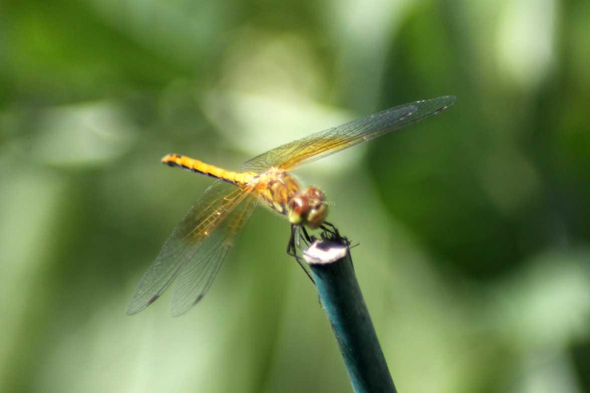 meadow hawk dragonfly 262