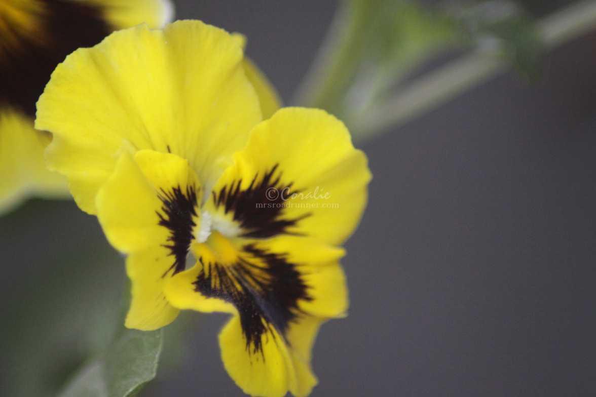 pansy flower 067