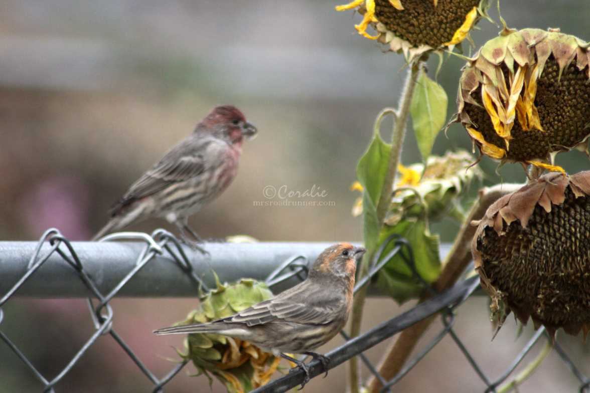 red and orange house finch birds 1378